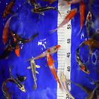 "Live Koi Carp for Sale - Grade A Koi Fish Pond Mix - 4""- 5"" Bundles - 10 - 100"