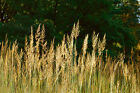 50+ - 50 lb Tomahawk Indian Grass Seed - Native Warm Season Grass - FREE Ship