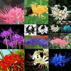 50 Particle Lycoris Radiata Seeds Spider Lily Flower Seeds Indoor Plant DZ88