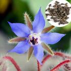 Borage Seeds non GMO Heirloom Culinary Blue Flower Bee Herb Plant 20/50/100 ETDS